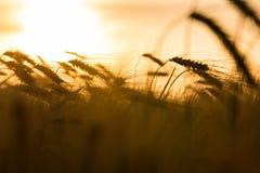 Gersten-oder Weizen-Bauernhof-Feld bei goldenem Sonnenuntergang oder Sonnenaufgang Stockfotos