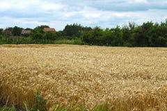 Gerstenfeld Stockbild