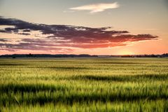 Gerstenfeld in der Sonnenuntergangansicht Lizenzfreie Stockfotos