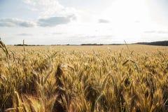 Gerstenfeld gegen den Himmel lizenzfreies stockbild