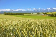 Gerstenfeld mit Bauernhof- und Gebirgshintergrund Lizenzfreie Stockfotografie