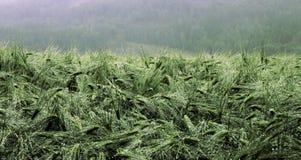 Gerstenfeld naß vom Regen Lizenzfreies Stockbild