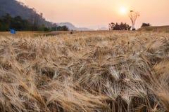 Gerstenfeld und der Sonnenuntergang der ländlichen Szene Stockfotografie