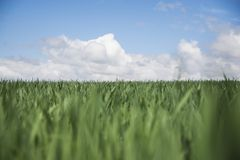 Gerstenfeld und -himmel mit Wolken Stockfotos