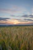 Gerstenfeld während des Sonnenuntergangs Stockfoto