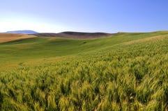 Gerstenfelder in Palouse Lizenzfreie Stockfotos