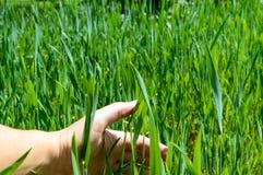 Gerstenplantage stockfotografie