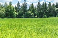 Gerstenplantage lizenzfreie stockfotos