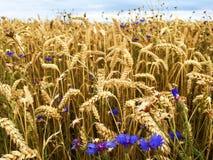 Gerstgebied met blauwe korenbloemen Royalty-vrije Stock Fotografie