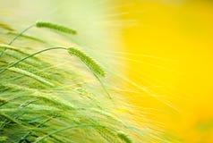 Gerstgebied in zonsopgangtijd met onscherp geel bloemgebied Royalty-vrije Stock Afbeeldingen