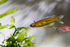 Gertrud-rainbowfish stockfotos