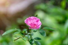 Gertrude Jekyll Rose of het Roze nam in Tuin toe royalty-vrije stock foto's