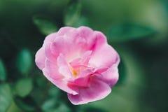 Gertrude Jekyll Rose ou Rosa cor-de-rosa no jardim imagens de stock