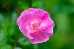 Gertrude Jekyll Rose ou Rosa cor-de-rosa no jardim fotografia de stock royalty free
