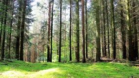 Geruch des Kiefernwaldes nach grasartiger Frischluft des Regens lizenzfreies stockbild