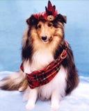 Geruite Schotse wollen stof Sheltie Royalty-vrije Stock Fotografie