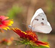 Geruite Witte Vlinder Royalty-vrije Stock Afbeeldingen