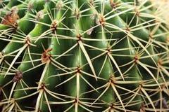 Gerundeter Kaktuspflanzeabschluß oben in einem saftigen Garten sehen weiter an lizenzfreie stockbilder