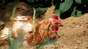 Gerupftes Huhn gedeiht in der Sonne üppig stock video