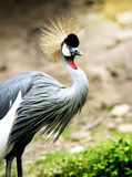 Gery Crowned Crane Portrait Royalty-vrije Stock Foto's