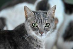 Gery e gato de gato malhado doméstico branco fotos de stock