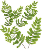 Gesammelte Dawn Redwood-Zweigblätter von Makro lokalisiert auf weißem Ba Stockfoto