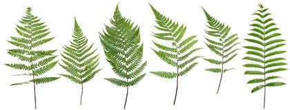 Gesammelter Blattfarn lokalisiert auf weißem Hintergrund Stockbilder