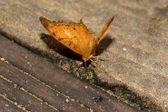 Gesamt- und Vorderansicht von einer Julia schwanken Schmetterling mit Hälfte offenen Flügel auf einem Steinboden, der in einem Gl lizenzfreies stockfoto