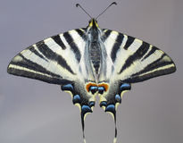 Gesamtansicht eines Basisrecheneinheit Papilio machaon Stockbilder