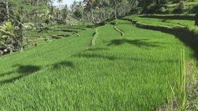 Gesamtlänge über Reisterrasse und Palmen des Berges und Haus von Landwirten bali indonesien stock video