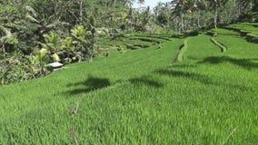 Gesamtlänge über Reisterrasse und Palmen des Berges und Haus von Landwirten bali indonesien stock footage