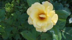 Gesamtlänge einer gelben Rose an einem windigen Tag stock footage
