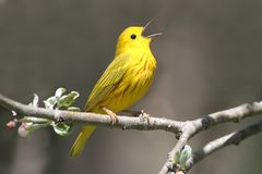 Gesang des gelben Wobbelton-(Dendroica petechia) Lizenzfreie Stockfotografie