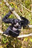 Gesang Siamang im Baum Lizenzfreies Stockfoto