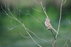 Gesang-Spatz gehockt im Baum Stockfotografie