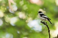 Gesangsingvogel auf einem Zweig in einem hellen Wald Stockfotografie