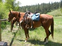 Gesattelte Pferde Stockfoto