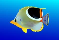 Gesatteltes Butterflyfish Stockfoto