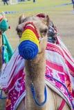 Gesatteltes Kamel in der farbigen Mündung Stockfotografie