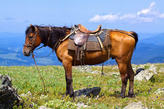 Gesatteltes Pferd Stockfotos