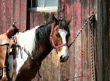 Gesatteltes Pferd gebunden an einem Stall Stockfotografie
