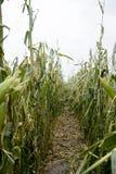 Geschädigtes Mais-Feld stockbild