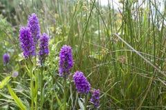 Geschützte Sumpf-Orchideen lizenzfreie stockfotos