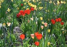 Geschakeerd Tulpengebied in de Lentetijd stock afbeeldingen