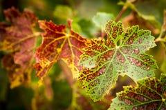 Geschakeerde Druivenbladeren royalty-vrije stock afbeeldingen