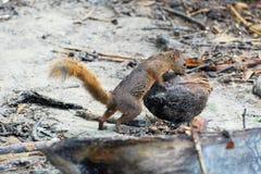 Geschakeerde eekhoorn met een kokosnoot - Costa Rica Royalty-vrije Stock Afbeeldingen