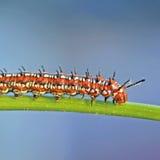Geschakeerde Fritillary Caterpillar stock afbeeldingen