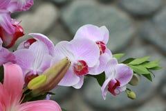 Geschakeerde Phalaenopsis-Orchideestam Royalty-vrije Stock Foto