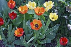 Geschakeerde Tulpen in de Lentetijd stock foto