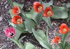 Geschakeerde Tulpen in de Lentetijd stock foto's